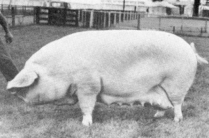 Quenington Muriel 30 Br Ch RASE 1964 bred & exhib by C Painter.jpg © Copyright, please contact us if you wish to use this photo.