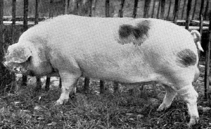 Ribbesford Prince Robert 7 (741) bred & exhib by G Styles Br Ch RASE Newcastle 1962.jpg © Copyright, please contact us if you wish to use this photo.