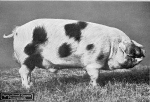 'Holmwood Dauntless' Male & Breed Ch at Newsastle Royal Show 1923. Bred & exhib by SH Badock JP, Holmwood, Westbury-on-Trym, Bristol.jpg © Copyright, please contact us if you wish to use this photo.