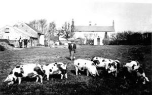 Whittingham Herd